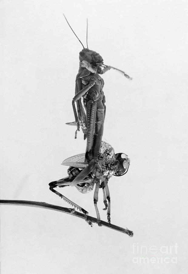 1915 Photograph - Jerusalem: Locusts, 1915 by Granger