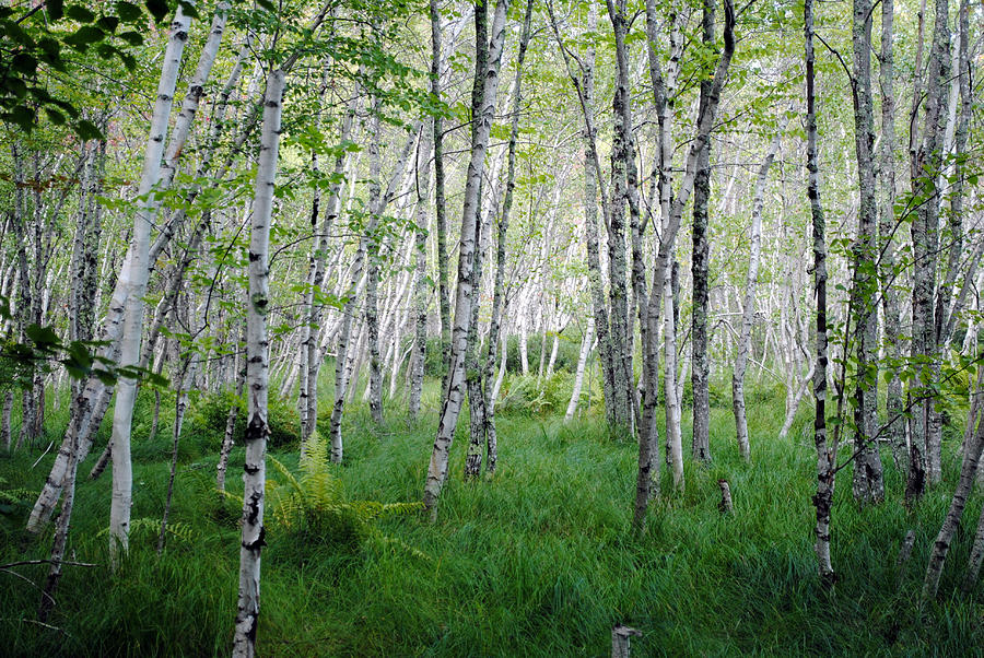 Acadia National Park Photograph - Jesup Path Birches by Steven Scott