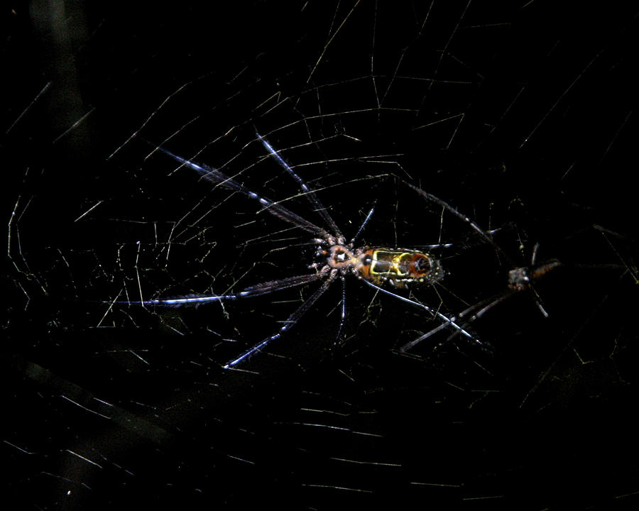 Spider Photograph - Jewel Of The Night by Joseph G Holland
