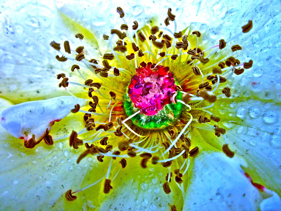 Transparent Rose Photograph - Jive by Gwyn Newcombe