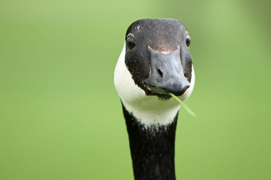 Joe Dirt the Goose by Shoeless Wonder
