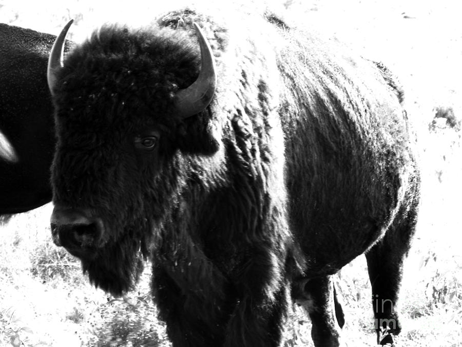 Buffalo Photograph - Join The Party by Amanda Barcon