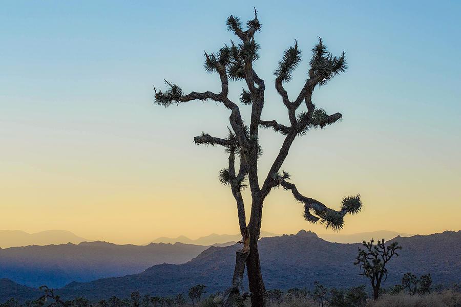 Joshua Tree by Amanda Rimmer