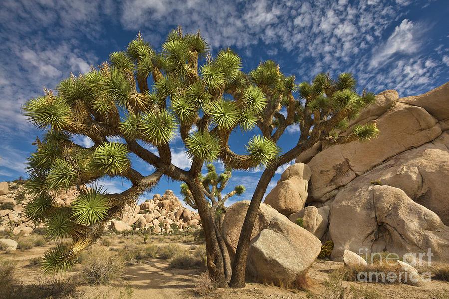Mp Photograph - Joshua Tree And Blue Sky by Yva Momatiuk John Eastcott