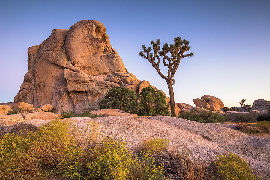 Joshua Tree And Intersection Rock Photograph