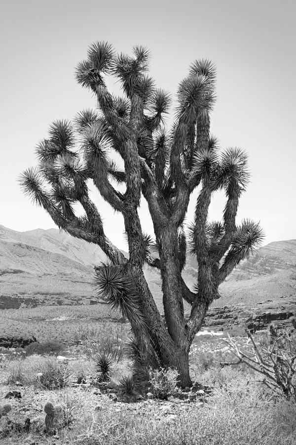 Joshua Tree Photograph - Joshua Tree Bw by Mike McGlothlen
