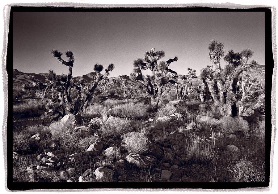 Desert Photograph - Joshua Tree Forest St George Utah by Steve Gadomski