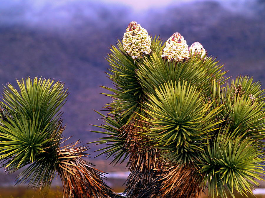 Joshua Tree In Bloom Photograph