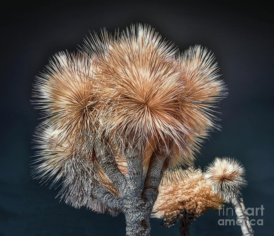Joshua Tree In Infrared Photograph