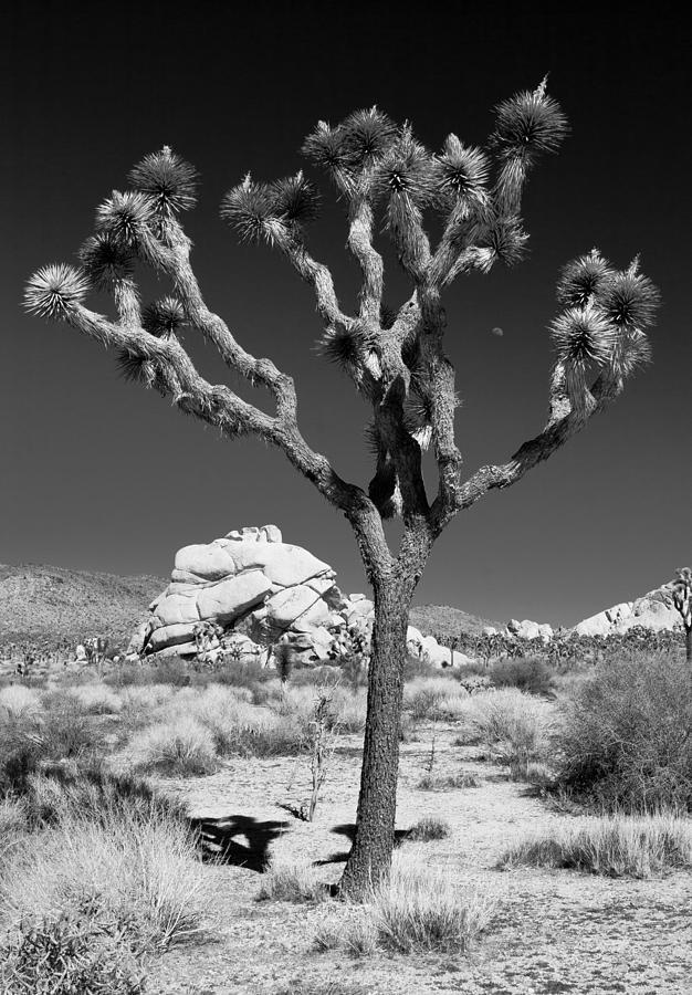 Tree Photograph - Joshua Tree In Monochrome by Adam Pender