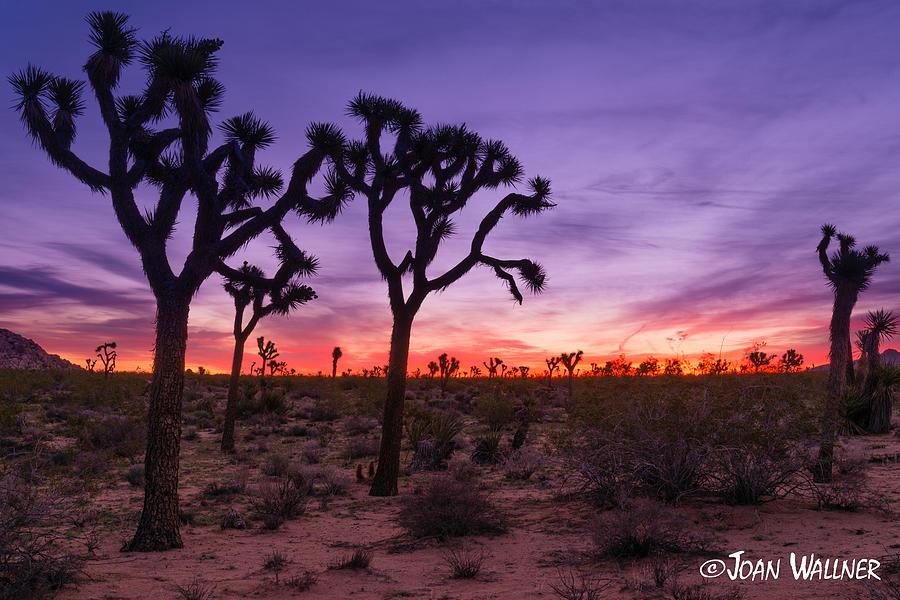 California Photograph - Joshua Tree Pastel Colors by Joan Wallner