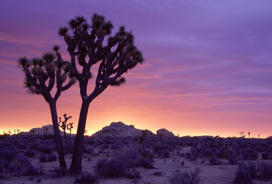 California Photograph - Joshua Tree Sunrise by Eric Foltz