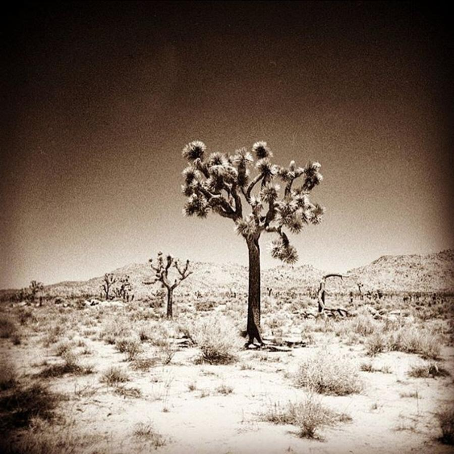 Lomography Photograph - Joshua Tree Taken With A #holga  #film by Alex Snay
