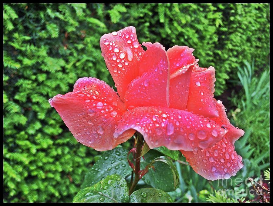 Flower Photograph - Joy by S Forte Designs