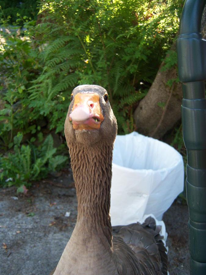 Goose Photograph - Juckyard Dog by Ken Day