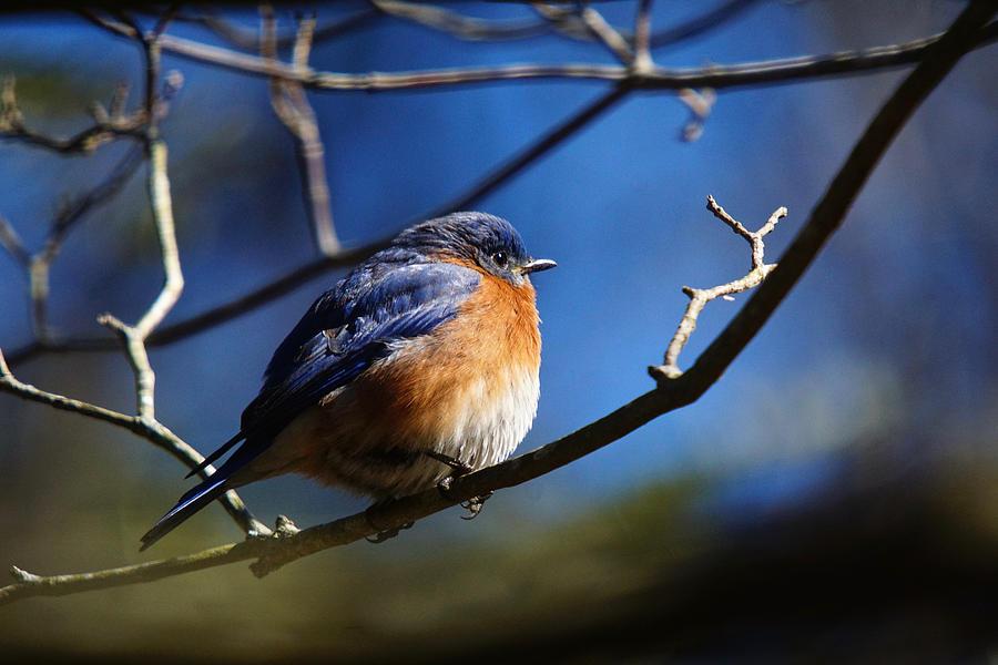Juicy Male Eastern Bluebird by Robert L Jackson