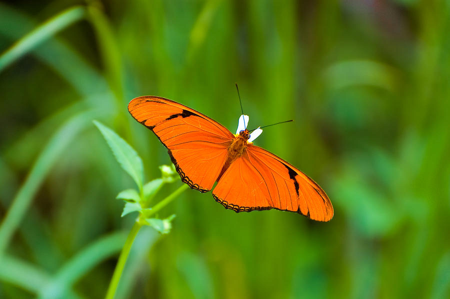 Butterfly Photograph - Julia Butterfly by Rich Leighton