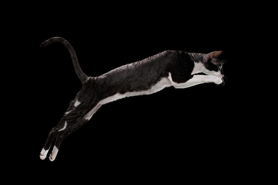 Cat Photograph - Jumping Cornish Rex Cat Isolated on Black by Sergey Taran