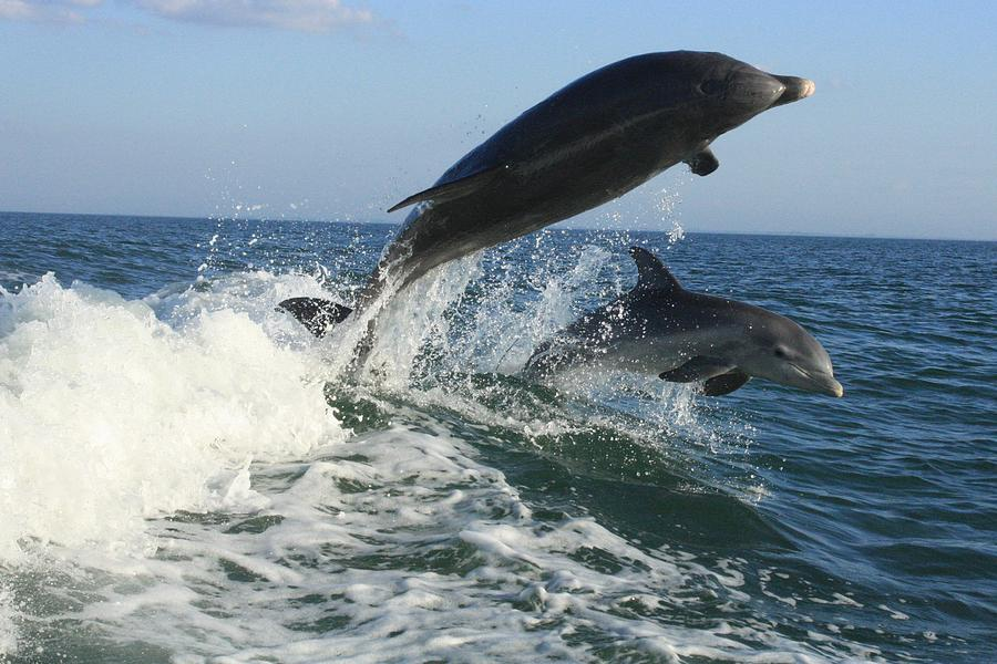 Dolphin Photograph - Jumping Lessons by Tara Moorman Photography