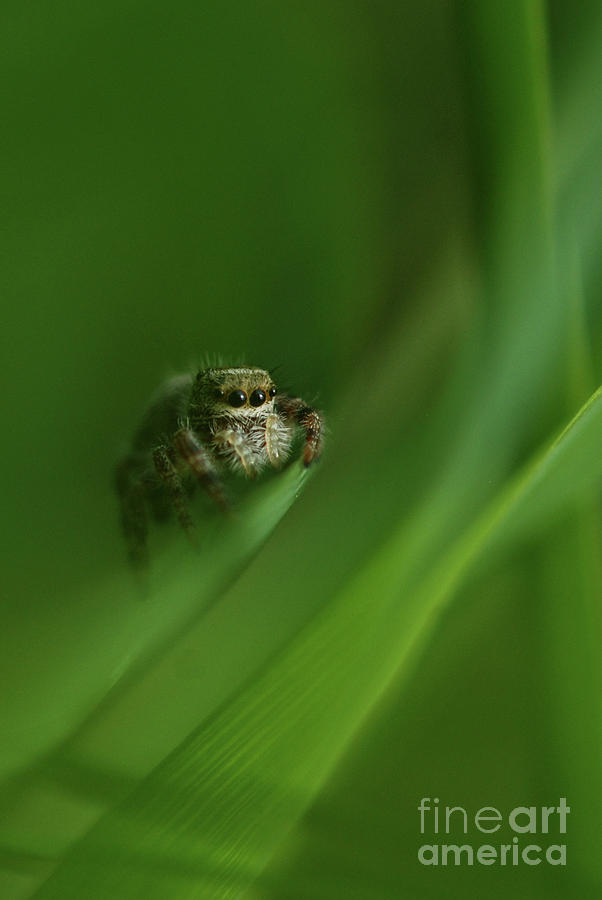 Jumping Spider Contemplating Life by Katie Joya
