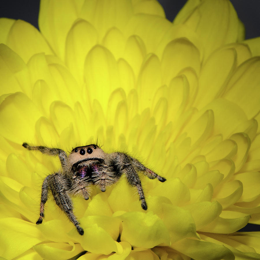 Arachnid Photograph - Jumping Spider by Emily Bristor