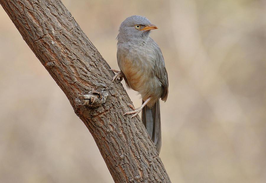 Bird Photograph - Jungle babbler by Manjot Singh Sachdeva