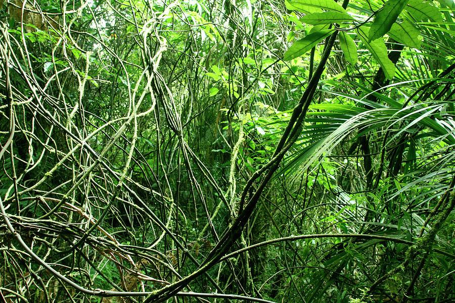 Jungle Vines 2 Photograph by Les Cunliffe