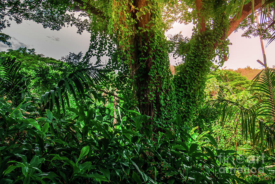 Jungle Vines Kauai Hawaii Photograph by Blake Webster