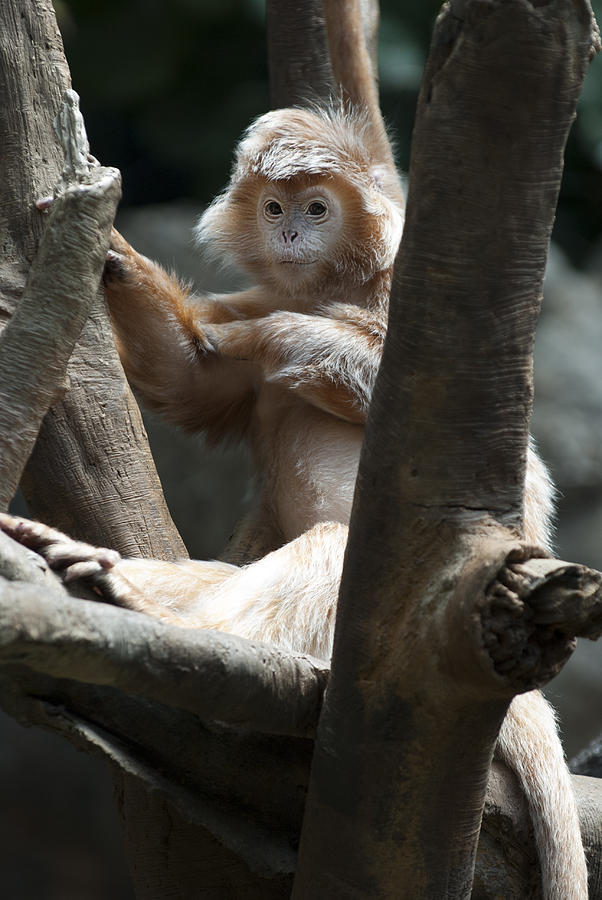 Bronx Zoo Photograph - Jungle World Monkey1 by Clifford Pugliese