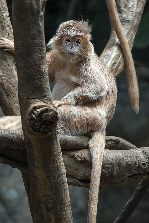 Bronx Zoo Photograph - Jungle World Monkey2 by Clifford Pugliese