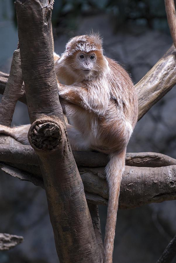 Bronx Zoo Photograph - Jungle World Monkey3 by Clifford Pugliese