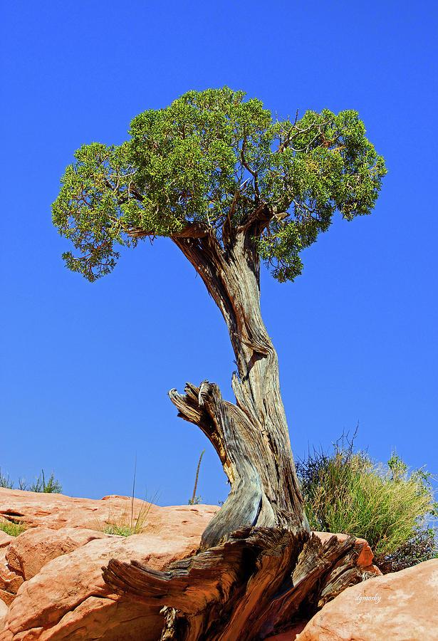 Old Juniper Tree Photograph - Juniper 1585 by David Mosby