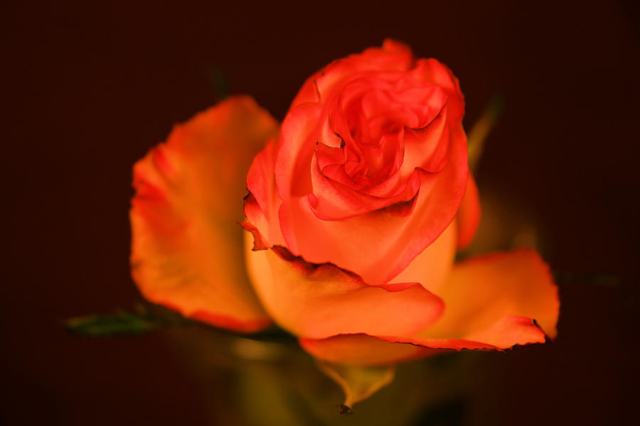 Just A Single Rose Photograph