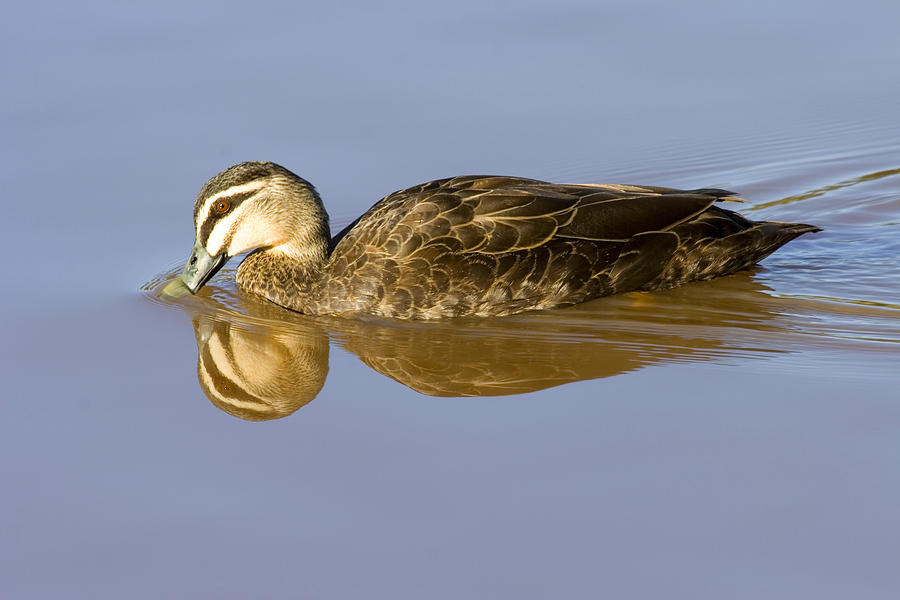 Duck Photograph - Just A Sip by Mike  Dawson