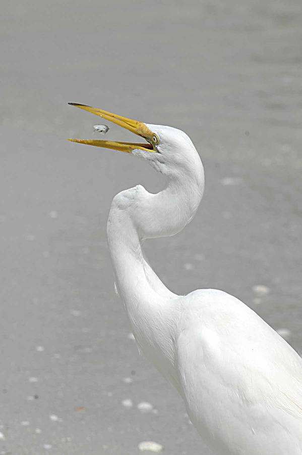 Egret Photograph - Just A Snack by Keith Lovejoy