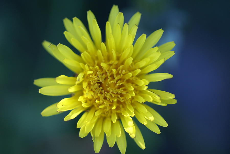 Floral Photograph - Just Dandy by Patricia M Shanahan