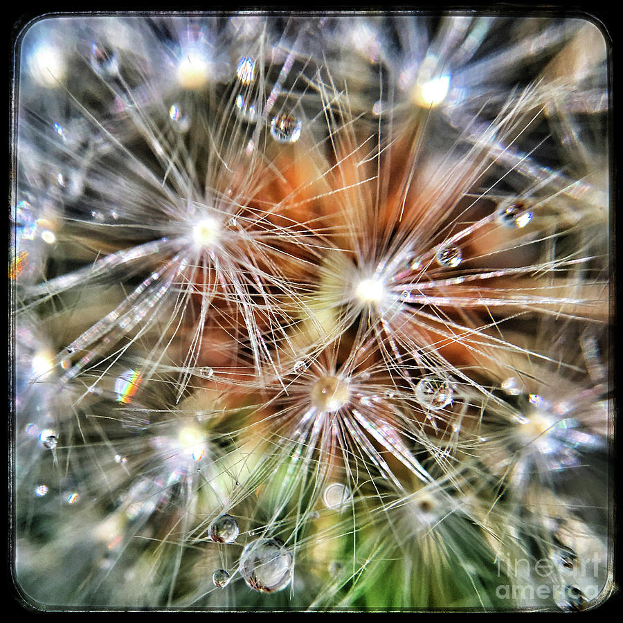 Dandelion Photograph - Just Dandy by Trish Casey-Green