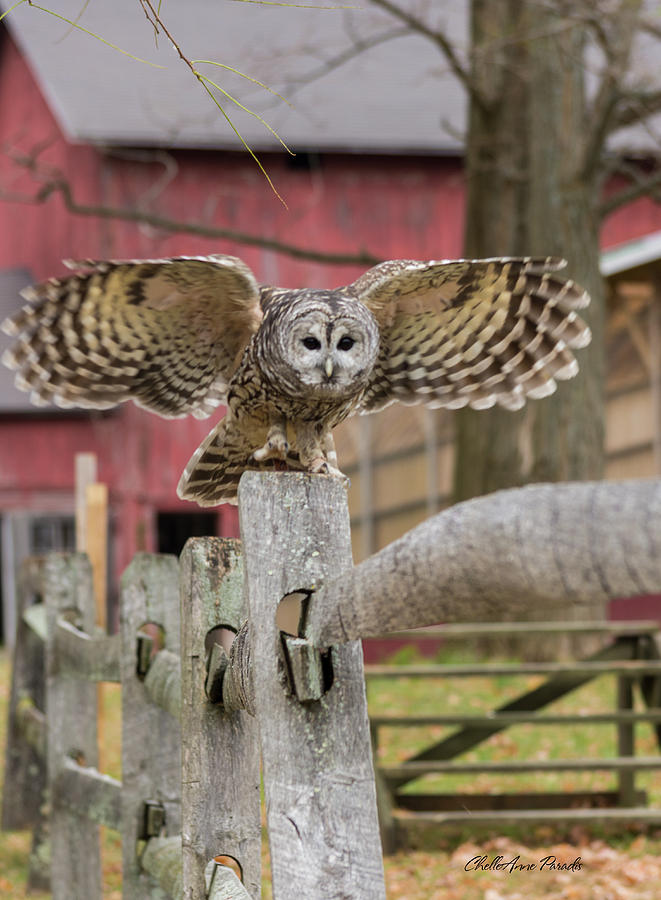 Owl Photograph - Just Dropping In by ChelleAnne Paradis