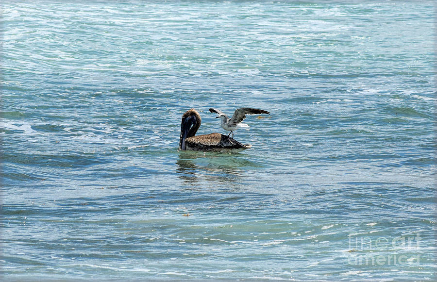 Brown Pelican Photograph - Just Give Me One by William Tasker