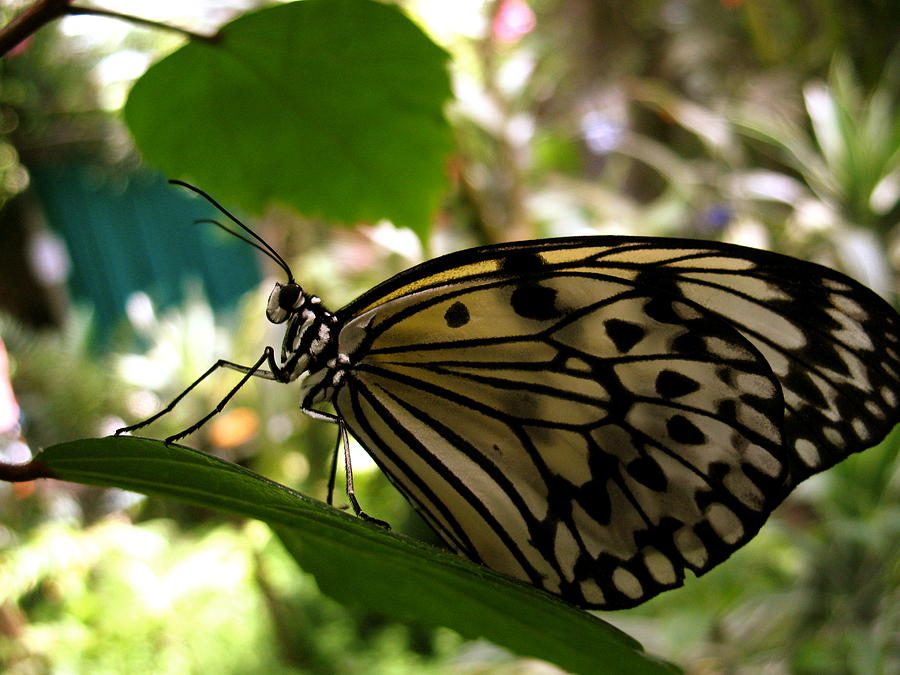 Butterfly Photograph - Just Like A Butterfly by Nico Smith