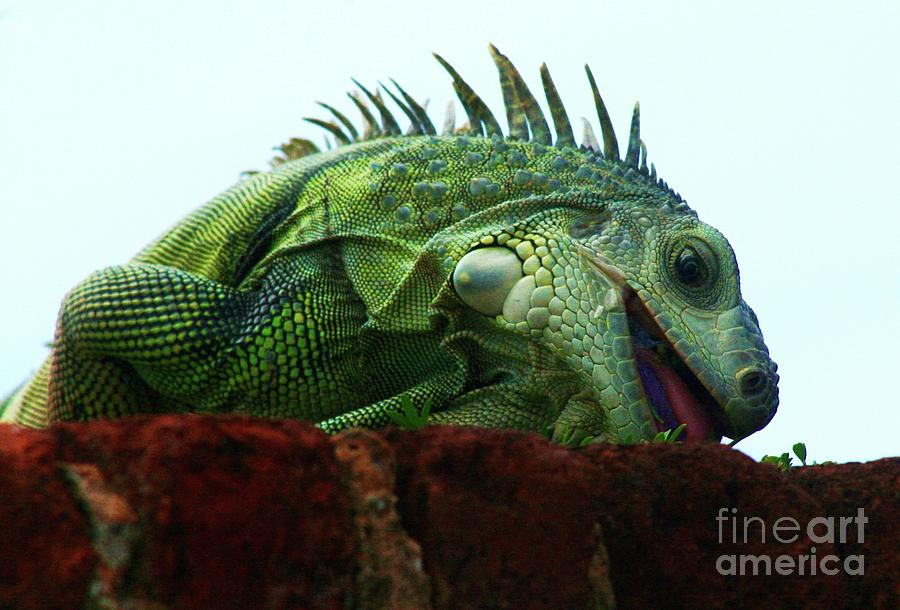 Green Iguana Photograph - Just One Bite by Gregory E Dean