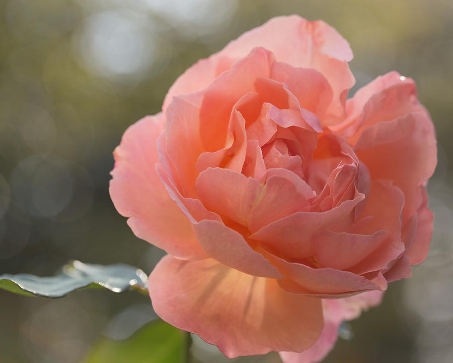 Rose Photograph - Just Peachy by Julie Andel