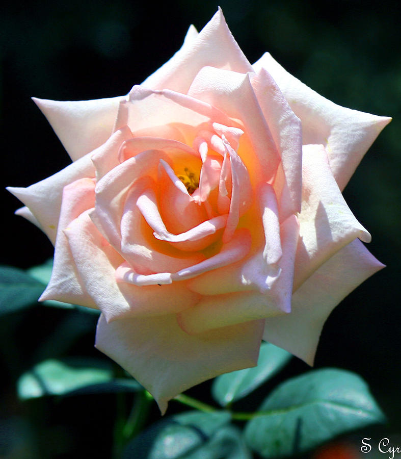 Rose Photograph - Just Peachy by S Cyr