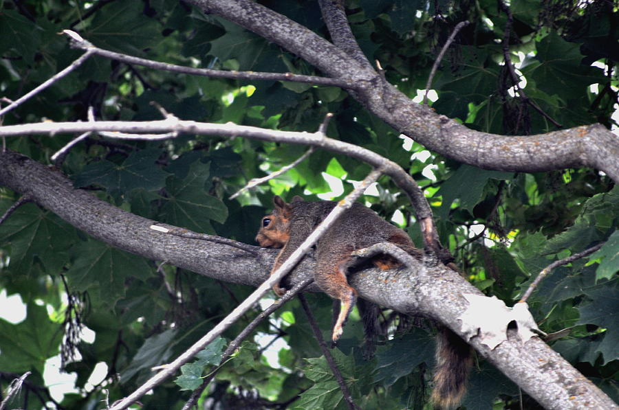 Squirrel Photograph - Just Resting by Athena Ellis