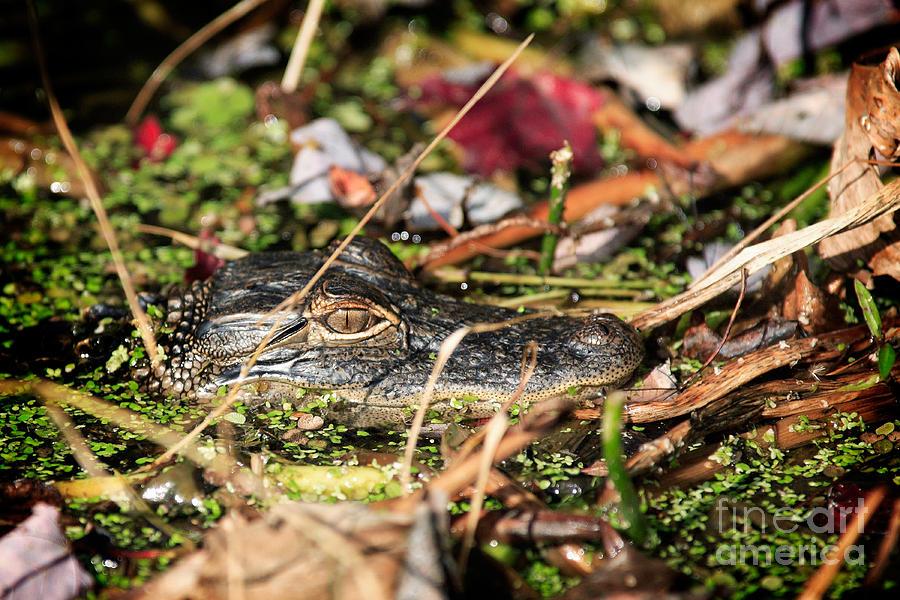 Juvenile Photograph - Juvenile American Alligator by Matt Suess