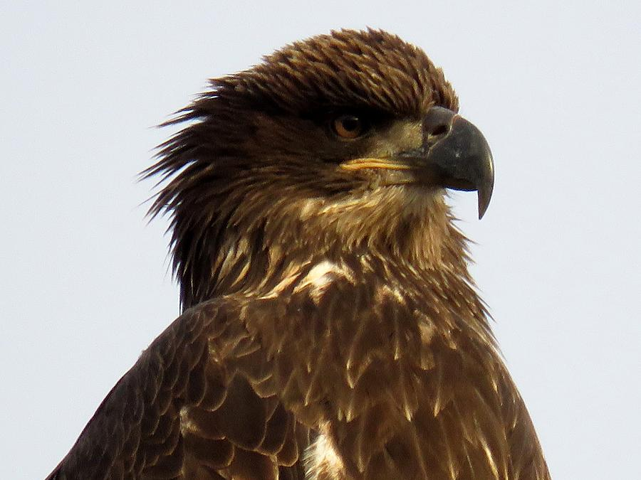 Juvenile Bald Eagle 2 Photograph
