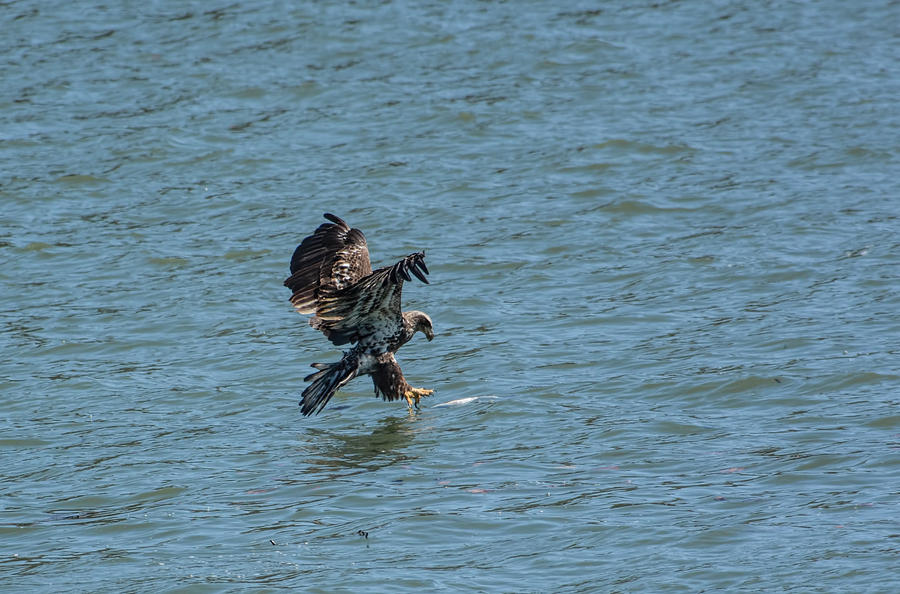 Juvenile Eagle Fishing Pickwick Lake Tennessee 031620161312 Photograph