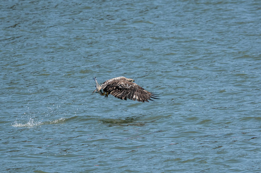 Juvenile Eagle Fishing Pickwick Lake Tennessee 031620161315 Photograph