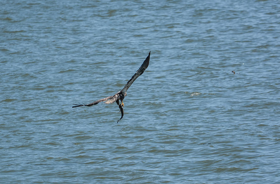 Juvenile Eagle Fishing Pickwick Lake Tennessee 031620161330 Photograph