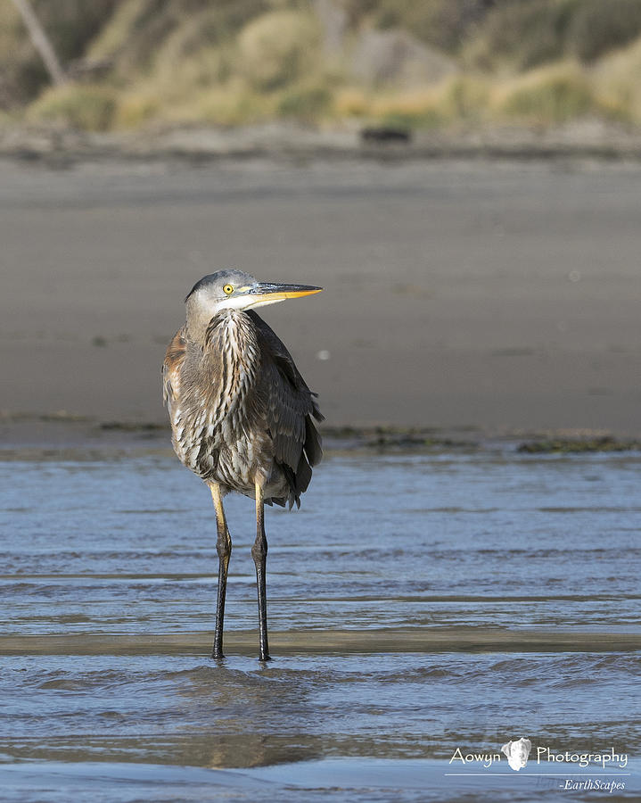 Photographing Juvenile Great Blue Heron >> Juvenile Great Blue Heron Photograph By Stephanie Mcguire